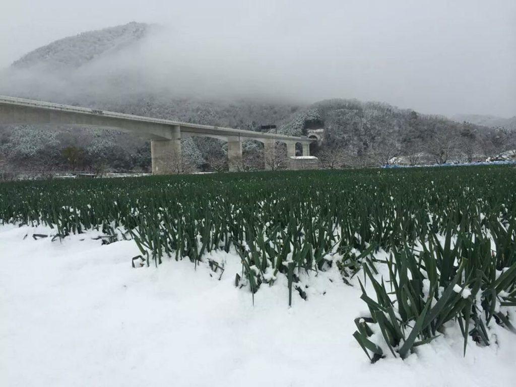 冬の豪雪に埋もれた岩津ねぎ。雪はネギの甘みを引き出してくれますが、同時に青葉を傷めてしまいます。