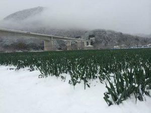 岩津ねぎ 冬の豪雪 青葉を傷める