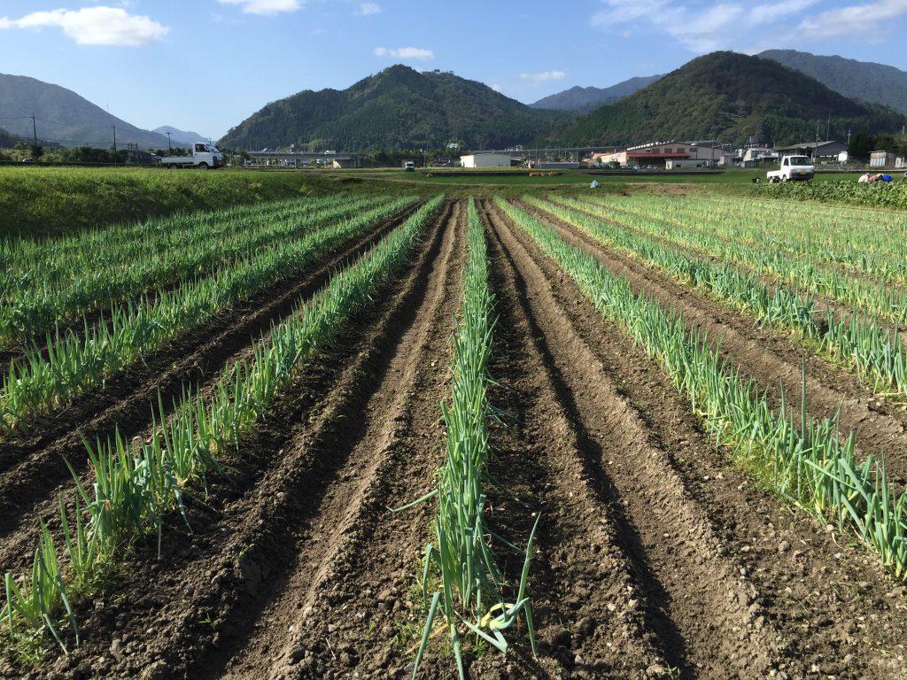 夏の土寄せの風景。ねぎは土寄せを行うことで長くなります。