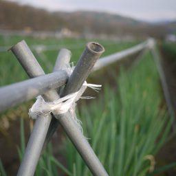岩津ねぎを守る 雪よけネット