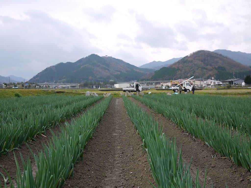 岩津ねぎの雪よけネット設営風景。これからすべての畝にネットの足場を設営します。