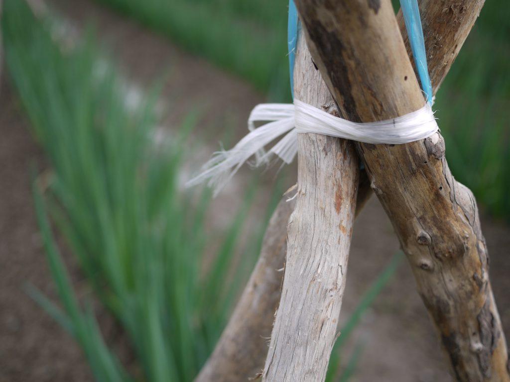足場の素材はさまざまで、木の棒を使う生産者もいらっしゃいます。