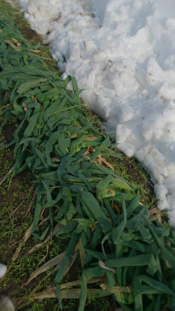 雪の被害を受けた岩津ねぎ。青葉ごと出荷するため葉が折れたネギは出荷できなくなります。