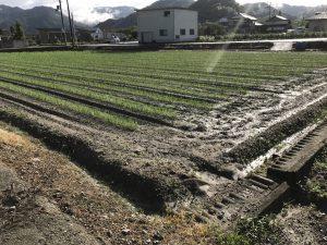 台風や豪雨に耐えて岩津ねぎはすくすく成長しています